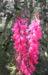 Zurück zum kompletten Bilderset Common-Heath Australheide Blüte pink Epacris impressa