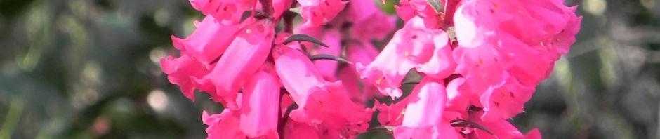 Anklicken um das ganze Bild zu sehen Common-Heath Australheide Blüte pink Epacris impressa