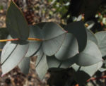 Curly Mallee Blatt grau gruen Eucalyptus gillii 09