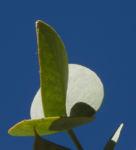 Curly Mallee Blatt grau gruen Eucalyptus gillii 11