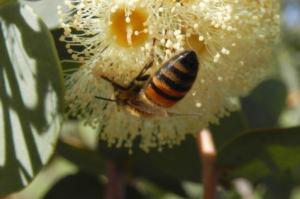 Curly Mallee Bluete gelb Eucalyptus gillii 15