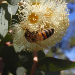 Curly Mallee Bluete gelb Eucalyptus gillii 16