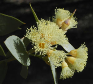 Curly Mallee Bluete gelb Eucalyptus gillii 17