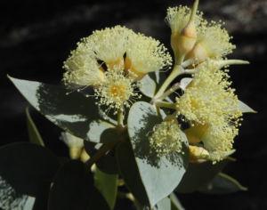 Curly Mallee Bluete gelb Eucalyptus gillii 18
