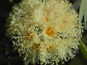 Curly Mallee Bluete gelb Eucalyptus gillii 20