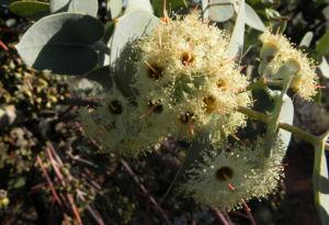 Curly Mallee Eukalyptus Bluete gelblich Blatt hell Eucalyptus gillii 06