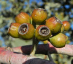 Curly Mallee Eukalyptus Bluete gelblich Blatt hell Eucalyptus gillii 08