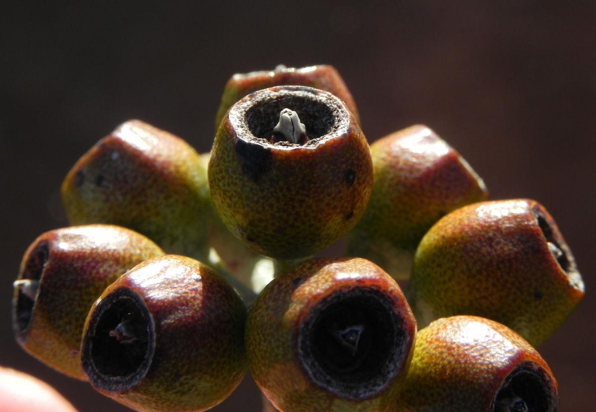 Curly Mallee Eukalyptus Bluete gelblich Blatt hell Eucalyptus gillii