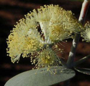 Curly Mallee Eukalyptus Bluete gelblich Blatt hell Eucalyptus gillii 16