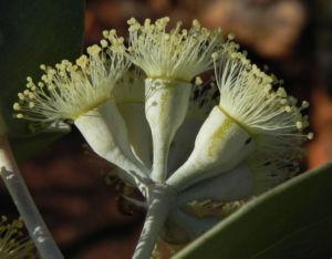 Curly Mallee Eukalyptus Bluete gelblich Blatt hell Eucalyptus gillii 19