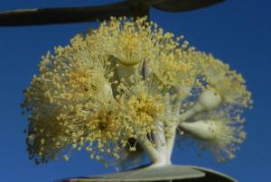 Curly Mallee Eukalyptus Bluete gelblich Blatt hell Eucalyptus gillii 20
