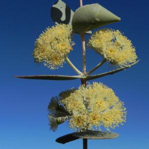 Bild: Curly Mallee Eukalyptus Bluete gelblich Blatt hell Eucalyptus gillii