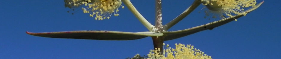 Anklicken um das ganze Bild zu sehen Curly Mallee Eukalyptus Blüte gelblich Blatt hell Eucalyptus gillii
