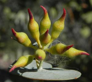 Curly Mallee Knospe gelb rot Eucalyptus gillii 07