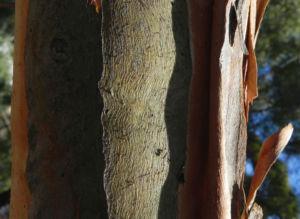 Curly Mallee Rinde braun Eucalyptus gillii 07