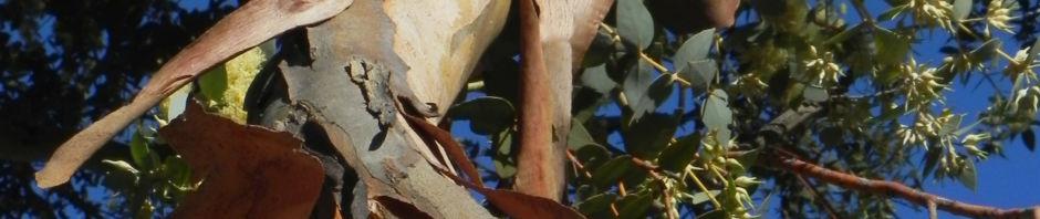 curly-mallee-bluete-gelb-rinde-braun-blaetter-gruen-eucalyptus-gillii