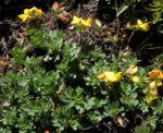 Bild: Alpen-Hornklee Blüte gelb Lotus alpinus