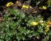Zurück zum kompletten Bilderset Alpen-Hornklee Blüte gelb Lotus alpinus