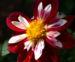 Zurück zum kompletten Bilderset Dahlie Blüte weiß rot Dahlia