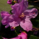 Dahurische Azalee Rhododendron dauricum 03