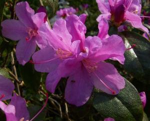 Dahurische Azalee Rhododendron dauricum 04