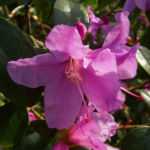 Dahurische Azalee Rhododendron dauricum 05
