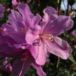 Dahurische Azalee Rhododendron dauricum 06