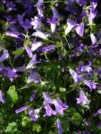 Dalmatiner Glockenblume Bluete blau Campanula portenschlagiana 02