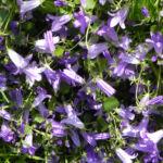 Dalmatiner Glockenblume Bluete blau Campanula portenschlagiana 05