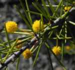 Dead Finish Akazie Bluete gelb Acacia tetragonophylla 01