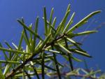 Dead Finish Akazie Bluete gelb Acacia tetragonophylla 06