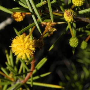 Dead Finish Akazie Bluete gelb Acacia tetragonophylla 07