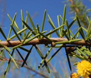 Dead Finish Akazie Bluete gelb Acacia tetragonophylla 08