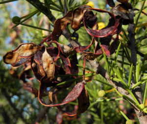 Dead Finish Akazie Bluete gelb Acacia tetragonophylla 09