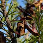 Dead Finish Akazie Bluete gelb Acacia tetragonophylla 10