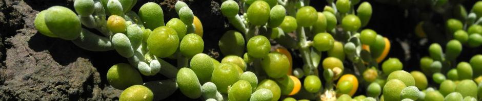Anklicken um das ganze Bild zu sehen  Desfontaines-Jochblatt Blatt grün Zygophyllum fontanesii