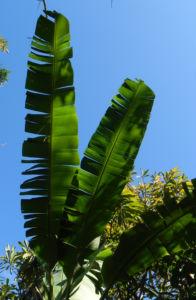 Dessertbanane Blatt gruen Musa × paradisiaca 01
