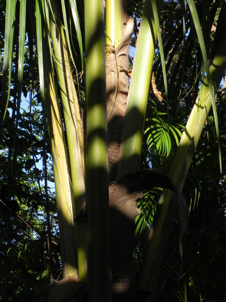 Dessertbanane Blatt gruen Musa × paradisiaca