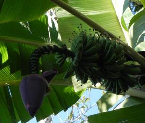 Dessertbanane Frucht gruen Musa × paradisiaca 10