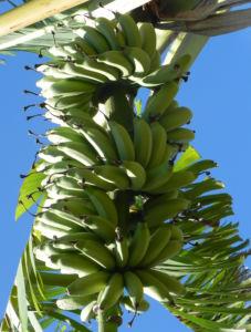 Dessertbanane Frucht grün Blüte purpur Blatt Musa x paradisiaca