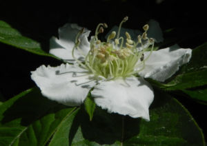 Deutsche Mispel Bluete weiss Mespilus germanica 02