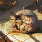 Deutsche Mispel Frucht braun Mespilus germanica 01