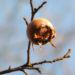Zurück zum kompletten Bilderset Deutsche Mispel Frucht braun Mespilus germanica