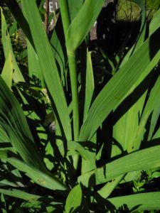 Deutsche Schwertlilie Blatt gruen violett Iris germanica 01