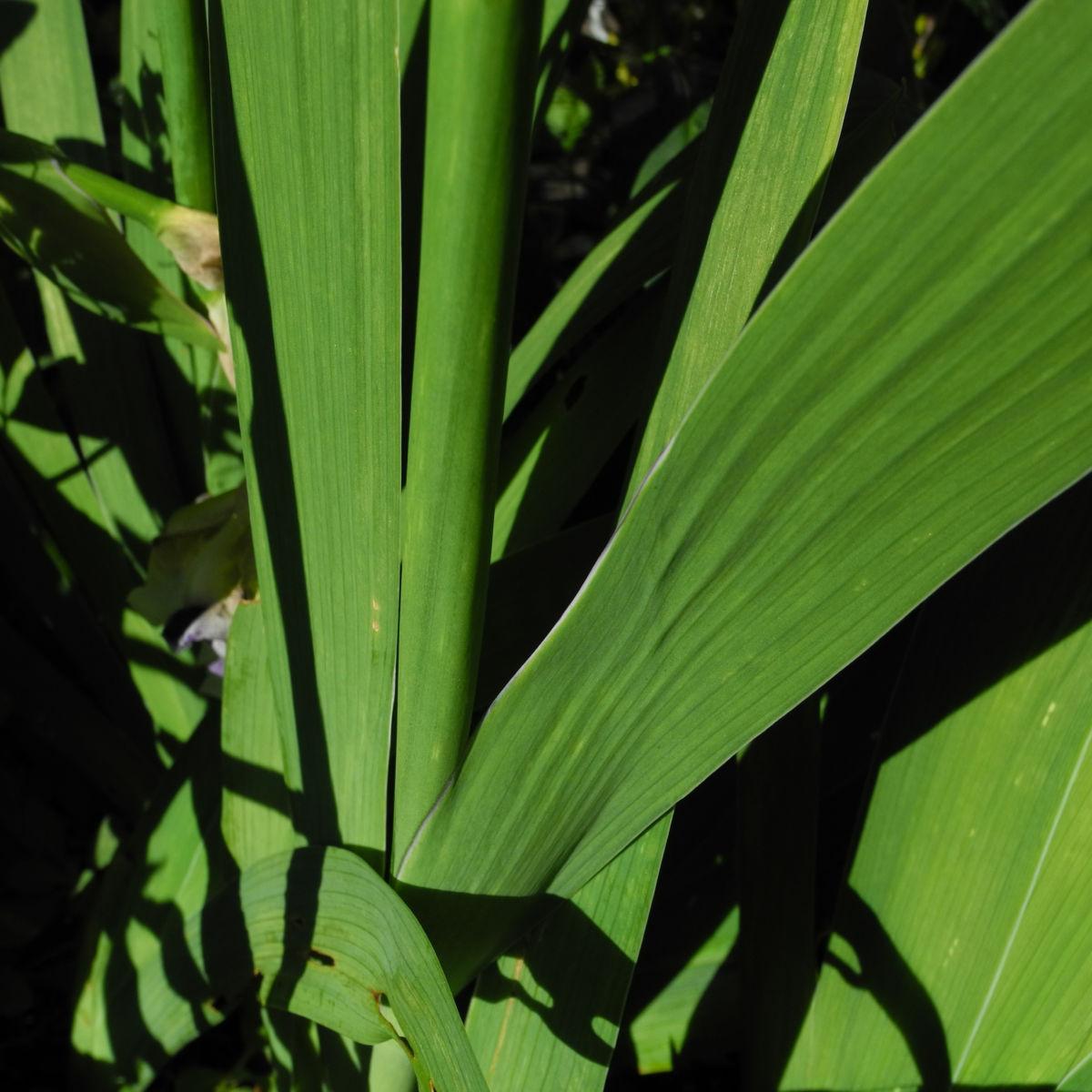 Deutsche Schwertlilie Blatt gruen violett Iris germanica