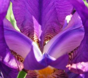 Deutsche Schwertlilie Bluete lila Iris germanica 02