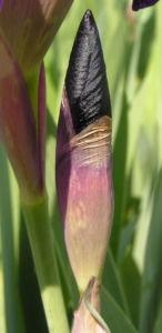 Deutsche Schwertlilie Bluete lila Iris germanica 04