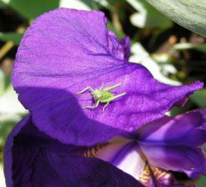 Deutsche Schwertlilie Bluete lila Iris germanica 06