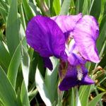 Deutsche Schwertlilie Bluete lila Iris germanica 07