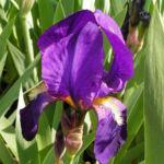 Deutsche Schwertlilie Bluete lila Iris germanica 09